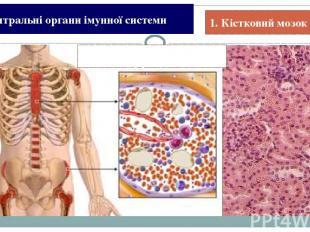 1. Збалансоване харчування. Історія Види імунітету Імунна система Імунна відпові
