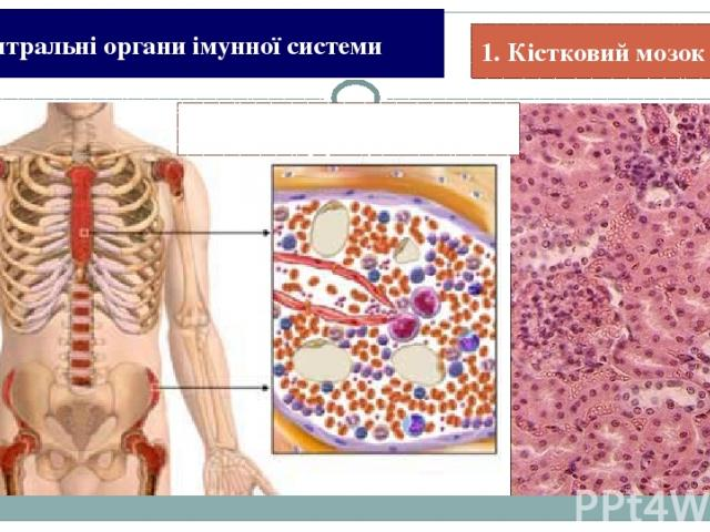 1. Збалансоване харчування. Історія Види імунітету Імунна система Імунна відповідь Пам'ятка Для імунітету корисно: 100%
