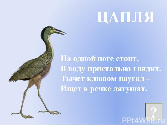 На одной ноге стоит, В воду пристально глядит. Тычет клювом наугад – Ищет в речке лягушат. ЦАПЛЯ ?