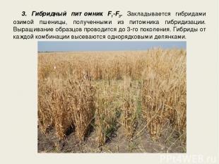 3. Гибридный питомник F1-F3. Закладывается гибридами озимой пшеницы, полученными