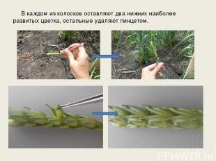 В каждом из колосков оставляют два нижних наиболее развитых цветка, остальные уд