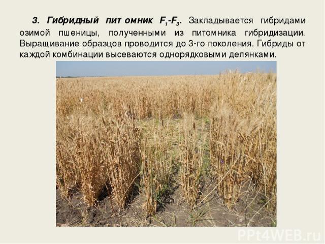 3. Гибридный питомник F1-F3. Закладывается гибридами озимой пшеницы, полученными из питомника гибридизации. Выращивание образцов проводится до 3-го поколения. Гибриды от каждой комбинации высеваются однорядковыми делянками.