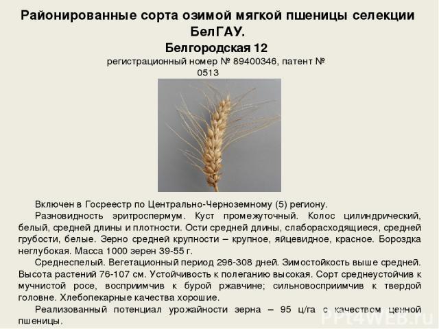 Районированные сорта озимой мягкой пшеницы селекции БелГАУ. Включен в Госреестр по Центрально-Черноземному (5) региону. Разновидность эритроспермум. Куст промежуточный. Колос цилиндрический, белый, средней длины и плотности. Ости средней длины, слаб…