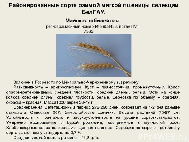 Районированные сорта озимой мягкой пшеницы селекции БелГАУ. Включен в Госреестр по Центрально-Черноземному (5) региону. Разновидность – эритроспермум. Куст – прямостоячий, промежуточный. Колос слабоверетеновидный, средней плотности, средней длины, б…