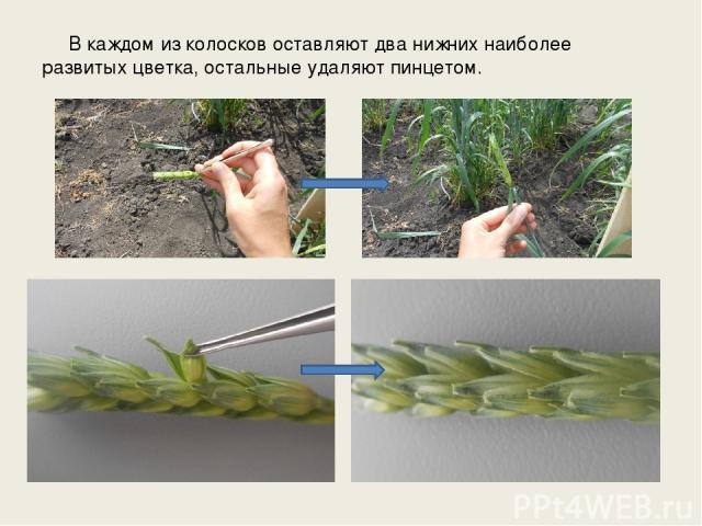 В каждом из колосков оставляют два нижних наиболее развитых цветка, остальные удаляют пинцетом.