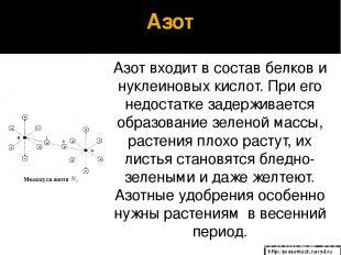 Азот Азот входит в состав белков и нуклеиновых кислот. При его недостатке задерж