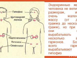 Эндокринные железы человека не велики по размерам, имеют очень маленькую массу (