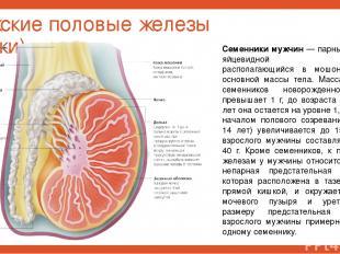 Мужские половые железы (яички) Семенники мужчин — парный орган яйцевидной формы,