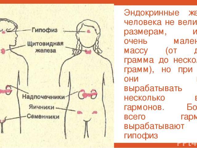Эндокринные железы человека не велики по размерам, имеют очень маленькую массу (от долей грамма до нескольких грамм), но при этом они могут вырабатывать несколько видов гармонов. Больше всего гармонов вырабатывают гипофиз и надпочечники.