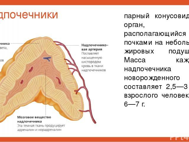 Надпочечники парный конусовидный орган, располагающийся над почками на небольших жировых подушках. Масса каждого надпочечника у новорожденного составляет 2,5—3 г, у взрослого человека — 6—7 г.