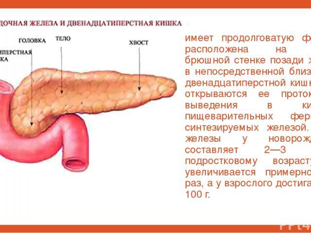 имеет продолговатую форму и расположена на задней брюшной стенке позади желудка в непосредственной близости от двенадцатиперстной кишки, куда открываются ее протоки для выведения в кишечник пищеварительных ферментов, синтезируемых железой. Масса жел…