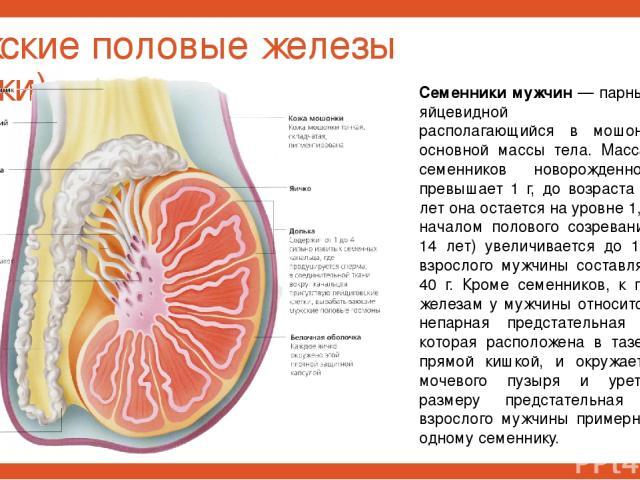 Мужские половые железы (яички) Семенники мужчин — парный орган яйцевидной формы, располагающийся в мошонке вне основной массы тела. Масса обоих семенников новорожденного не превышает 1 г, до возраста 10— 12 лет она остается на уровне 1,5—2 г, с нача…