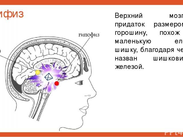 Эпифиз Верхний мозговой придаток размером с горошину, похож на маленькую еловую шишку, благодаря чему и назван шишковидной железой.