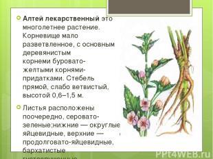 Алтей лекарственный это многолетнее растение. Корневище мало разветвленное, сос