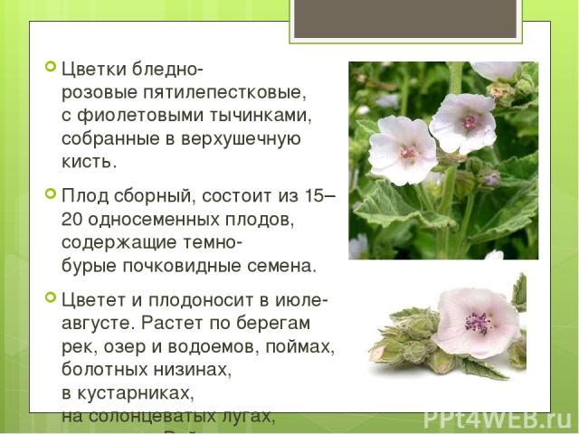 Цветкибледно-розовыепятилепестковые, сфиолетовыми тычинками, собранные вверхушечную кисть. Плодсборный, состоит из15–20односеменныхплодов, содержащиетемно-бурыепочковидные семена. Цветет иплодоноситвиюле-августе.Растет по берегам рек, …