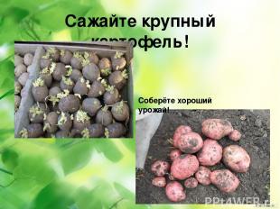 Сажайте крупный картофель! Соберёте хороший урожай!