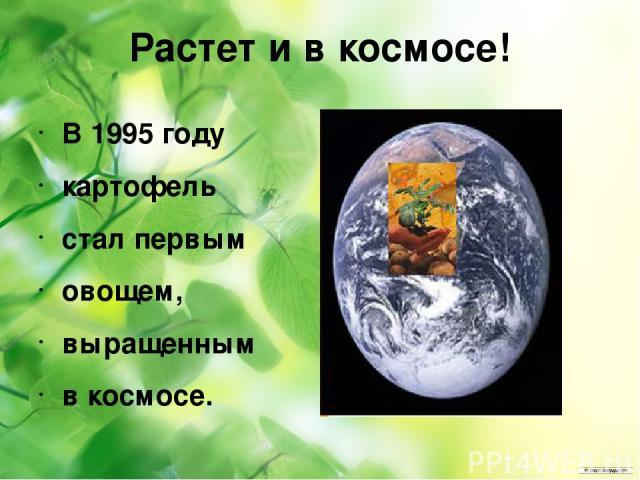 Растет и в космосе! В 1995 году картофель стал первым овощем, выращенным в космосе.