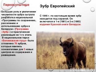 Парнокопытные Зубр Европейский С 1946 г. по настоящее время зубр находится под о