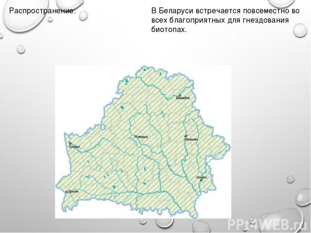 Распространение: В Беларуси встречается повсеместно во всех благоприятных для гнездования биотопах.