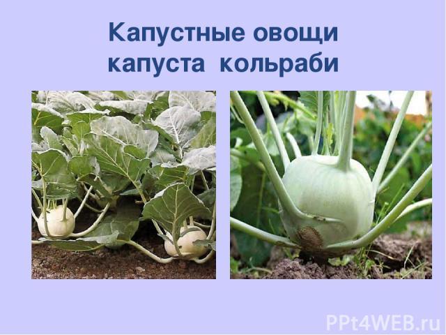 Капустные овощи капуста кольраби