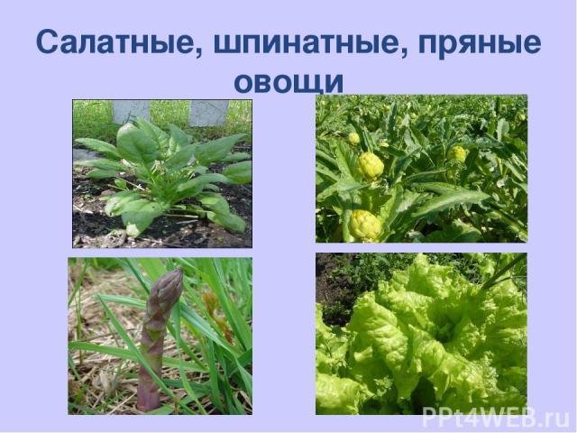 Салатные, шпинатные, пряные овощи