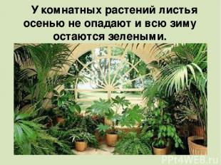У комнатных растений листья осенью не опадают и всю зиму остаются зелеными.