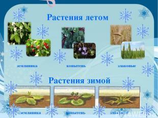 Растения летом земляника копытень злаковые Растения зимой земляника копытень зла