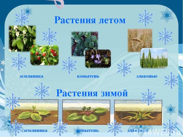Растения летом земляника копытень злаковые Растения зимой земляника копытень злаковые