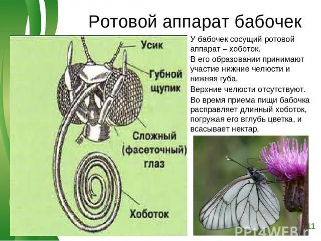 Ротовой аппарат бабочек У бабочек сосущий ротовой аппарат – хоботок. В его образовании принимают участие нижние челюсти и нижняя губа. Верхние челюсти отсутствуют. Во время приема пищи бабочка расправляет длинный хоботок, погружая его вглубь цветка,…