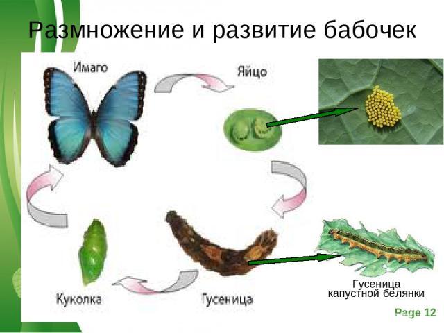 Размножение и развитие бабочек Free Powerpoint Templates Page *