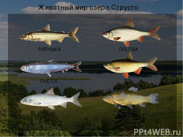 Экологические проблемы озера Струсто Слив сточных вод в озеро Гибель рыбы от загрязнённой воды