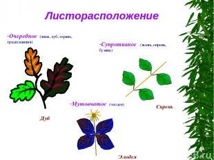 Листорасположение Очередное (липа, дуб, герань, традесканция) Супротивное (ясень