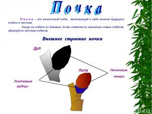Внешнее строение почки П о ч к а – это зачаточный побег, включающий в себя зачат