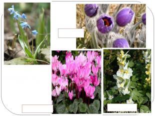 Все больше становится мест, где уже не встречаются раннецветущие растения- ГОЛУБ