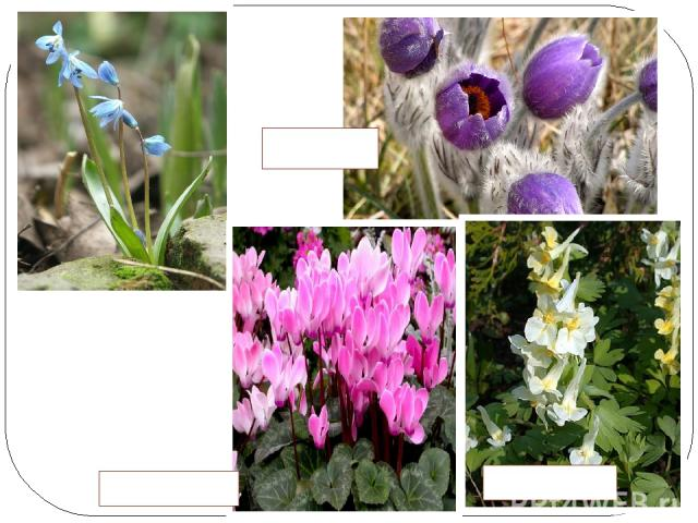 Все больше становится мест, где уже не встречаются раннецветущие растения- ГОЛУБАЯ ПРОЛЕСКА СОН- ТРАВА ХОХЛАТКИ ЦИКЛАМЕНЫ