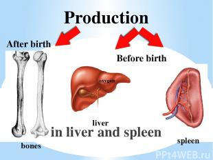 Production in liver and spleen bones oxygen liver spleen After birth Before birt