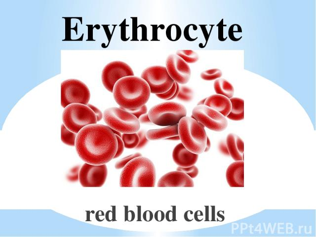 Erythrocyte red blood cells