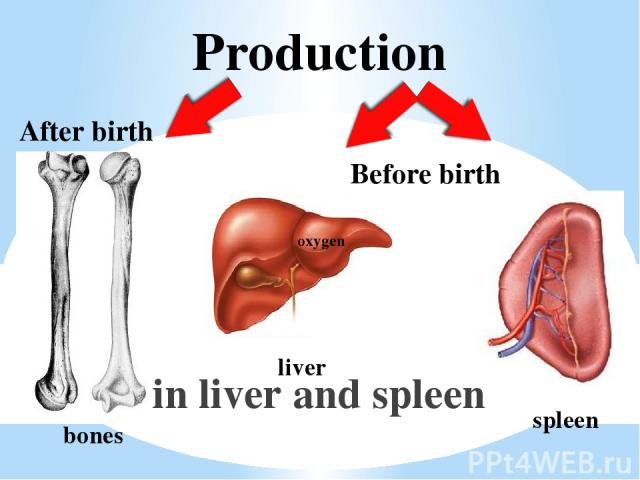Production in liver and spleen bones oxygen liver spleen After birth Before birth