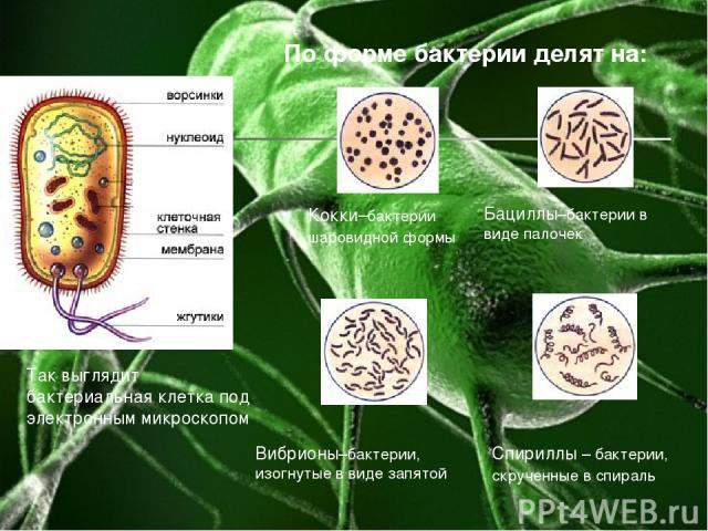 Кокки–бактерии шаровидной формы Бациллы–бактерии в виде палочек Вибрионы–бактерии, изогнутые в виде запятой Спириллы – бактерии, скрученные в спираль По форме бактерии делят на: Так выглядит бактериальная клетка под электронным микроскопом