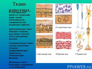 Ткани животных. В теле животных имеются следующие виды тканей: эпителиальная, со