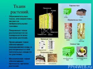 Ткани растений. Образовательные ткани, или меристемы, являются эмбриональными тк