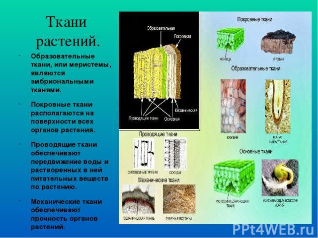 Ткани растений. Образовательные ткани, или меристемы, являются эмбриональными тканями. Покровные ткани располагаются на поверхности всех органов растения. Проводящие ткани обеспечивают передвижение воды и растворенных в ней питательных веществ по ра…