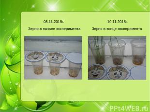 Зерно в начале эксперимента Зерно в конце эксперимента 05.11.2015г. 19.11.2015г.