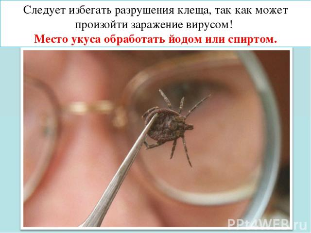 Следует избегать разрушения клеща, так как может произойти заражение вирусом! Место укуса обработать йодом или спиртом.