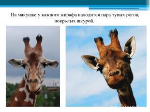 На макушке у каждого жирафа находится пара тупых рогов, покрытых шкурой.