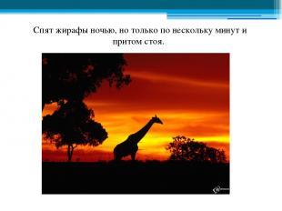 Спят жирафы ночью, но только по нескольку минут и притом стоя.