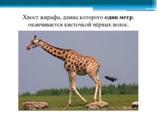 Хвост жирафа, длина которого один метр, оканчивается кисточкой чёрных волос.