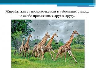 Жирафы живут поодиночке или в небольших стадах, не особо привязанных друг к друг