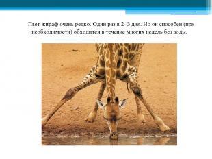 Пьет жираф очень редко. Один раз в 2–3 дня. Но он способен (при необходимости) о