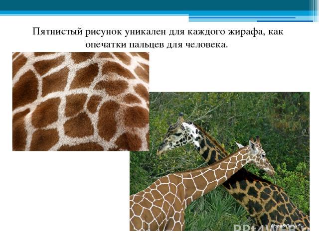 Пятнистый рисунок уникален для каждого жирафа, как опечатки пальцев для человека.